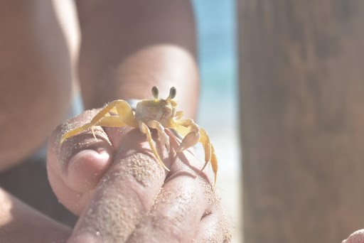ghost crabbing on the Outer Banks is a fun day or night time activity.