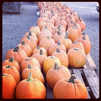 Pumpkin Picking at Island Farm